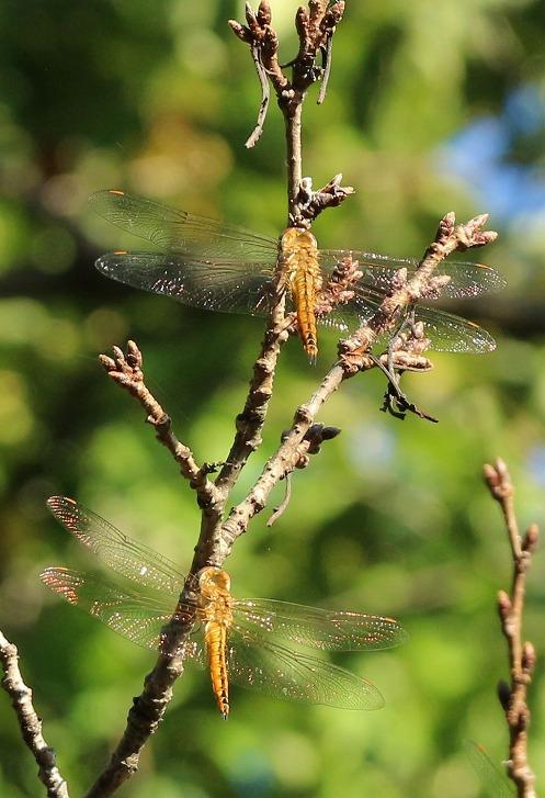 桜の木の上の方に蜻蛉数匹 30 9 28