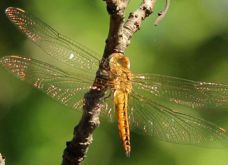 赤く光ってる翅の蜻蛉 30 9 28