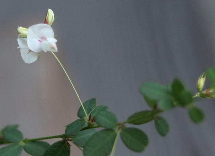 屋久島 萩 白色 30 9 16