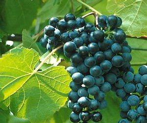 01a 300 stuben grapes from Mikiko