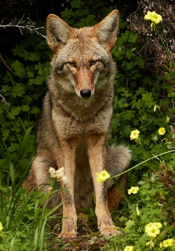 09b 500 urban coyote
