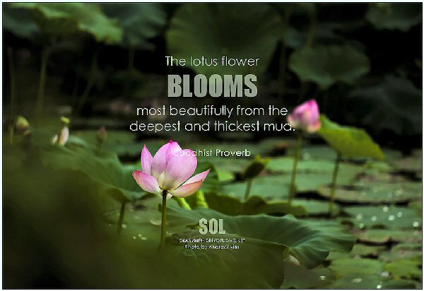 02a 600 lotus flower proverb