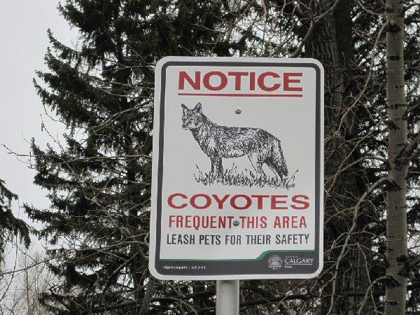 09a 600 Notice Coyotes