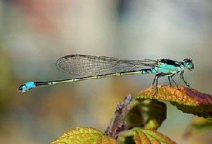 04c 300 糸蜻蛉