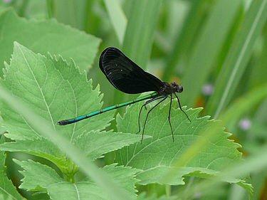04d 300 羽黒蜻蛉