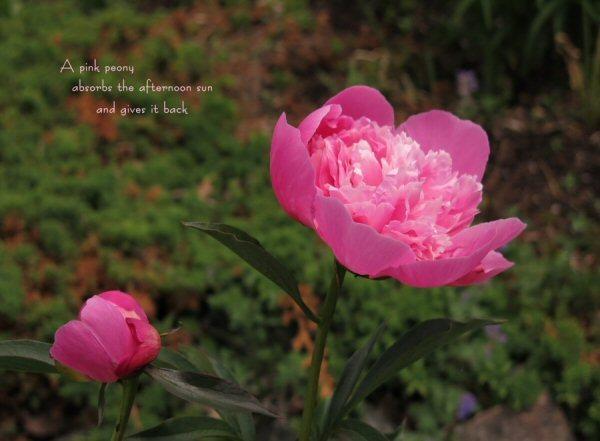 04a 600 20150716 (木) No1 A pink peony