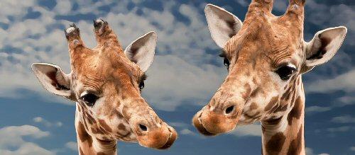 09a 500 giraffs happy faces