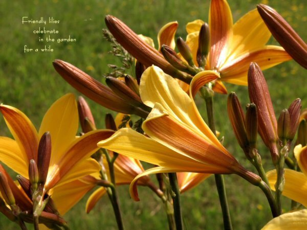 04a 600 20150716 (木) No3 Friendly lilies