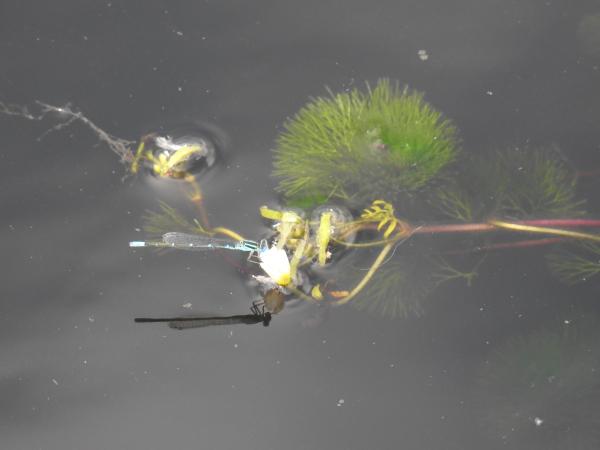 180924池花池青いイトトンボ_006