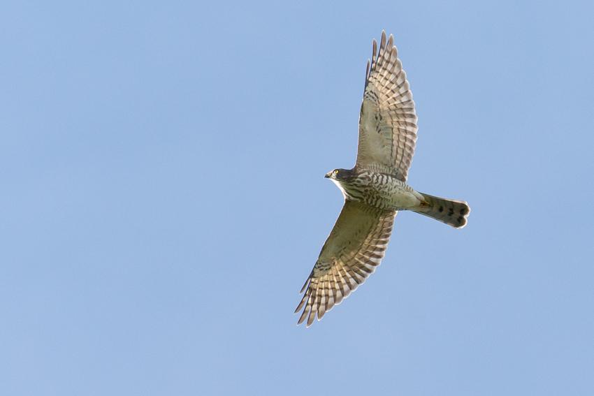 180912アカハラダカ幼鳥1
