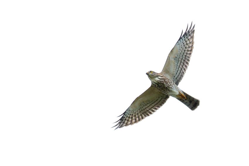 180918アカハラダカ幼鳥3jpg
