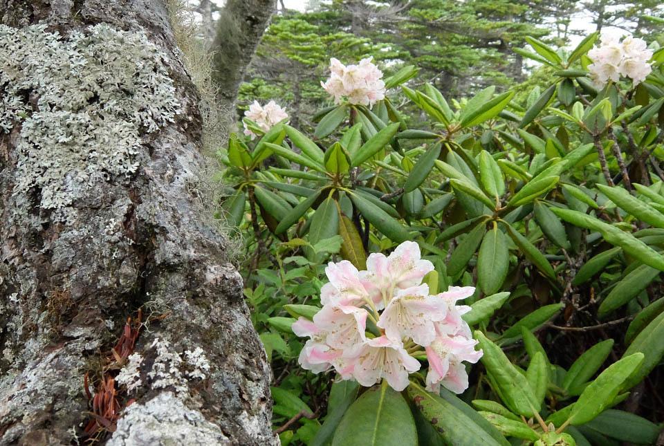 5096 地衣類のついた木と石楠花 960×645