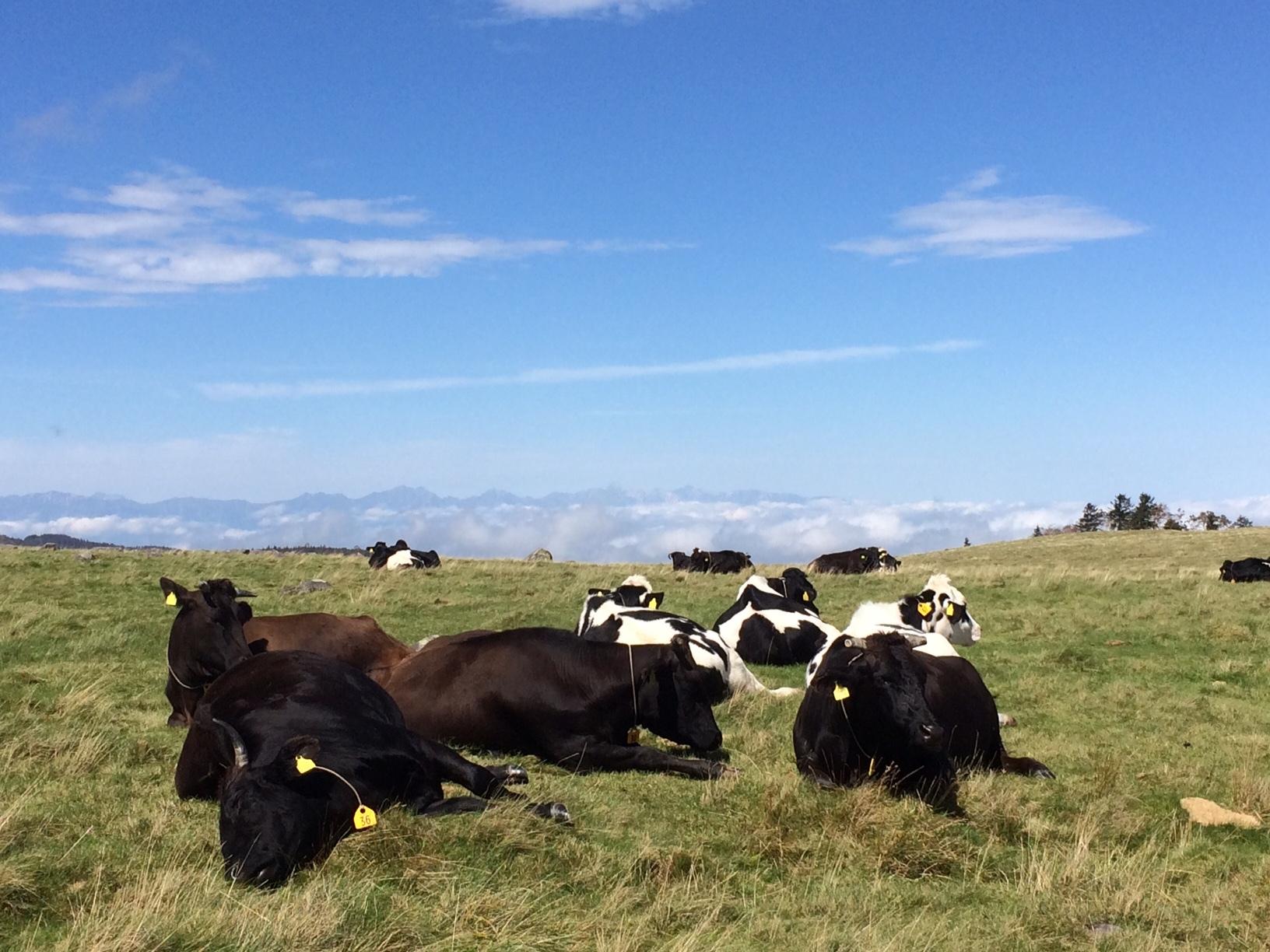 牛と北アルプス