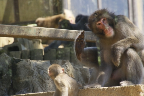 猿がご挨拶