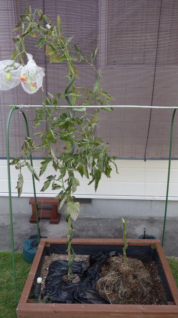 トマト 家庭菜園