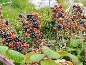 blackberry0918