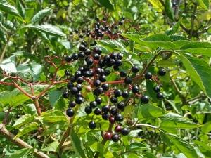 elderberry0918