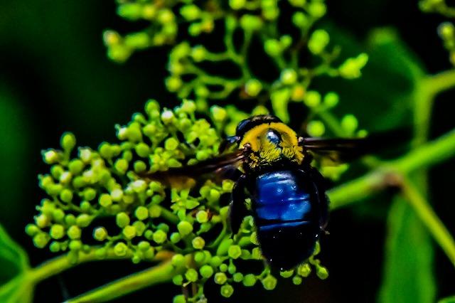 クマンバチ