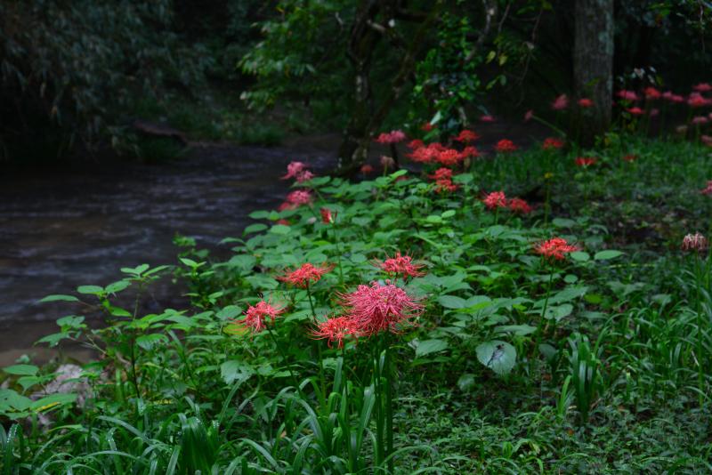 「川辺に咲く秋」1    (香川県三木町虹の滝)