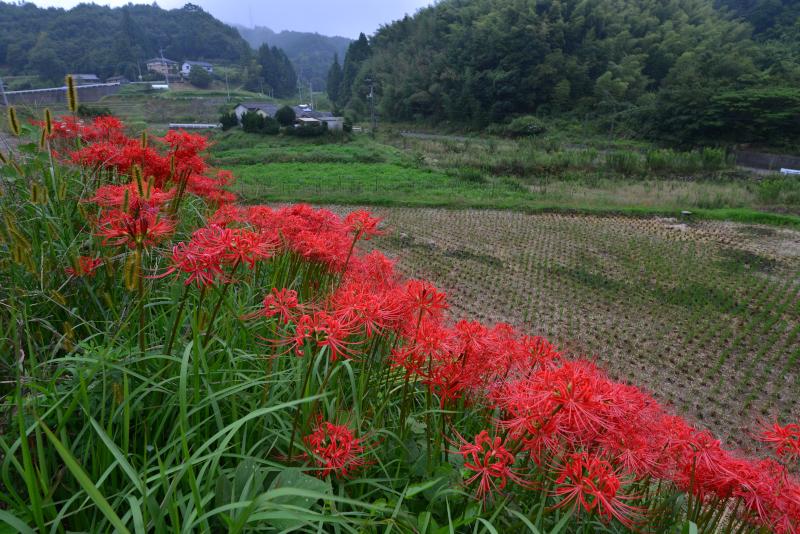 「里山に咲く秋」    (香川県三木町小蓑)