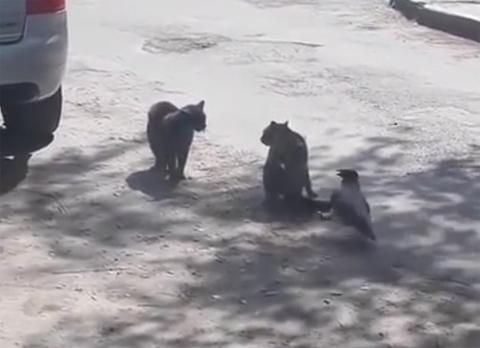 catfight+crow1