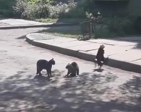 catfight+crow4