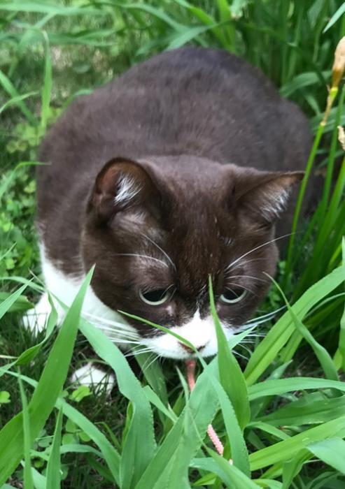 バッタさんを夢中で追いかけた猫のチョコ