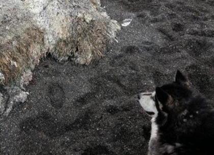 全長は約8m 重さは4t、全体がふさふさとした毛のようなもので覆われている謎の物体が ロシアの海岸に打ち上げられ、様々な臆測を呼ぶ(画像)