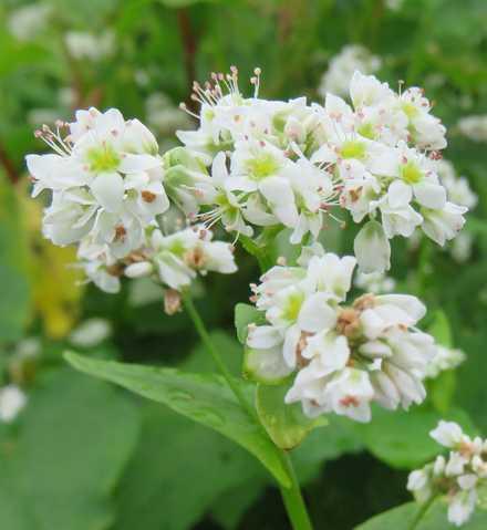 ソバの花 1