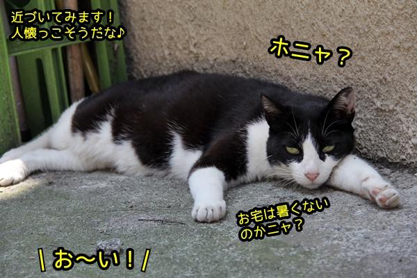 暑くてダルい白黒猫