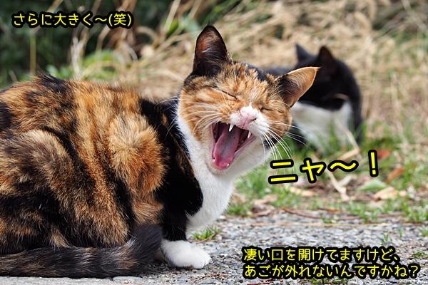 三毛猫 あくび
