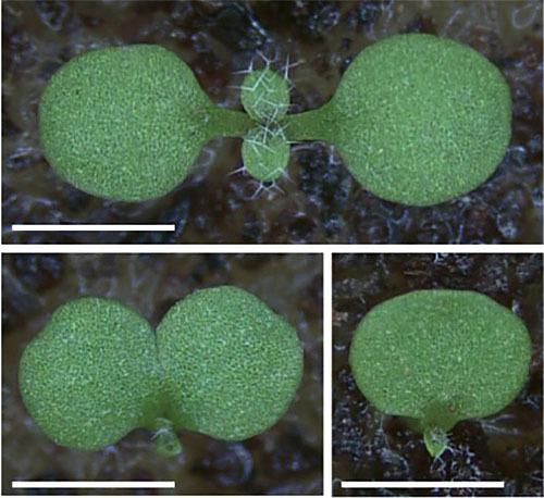 植物の双葉を2枚にする酵素を発見