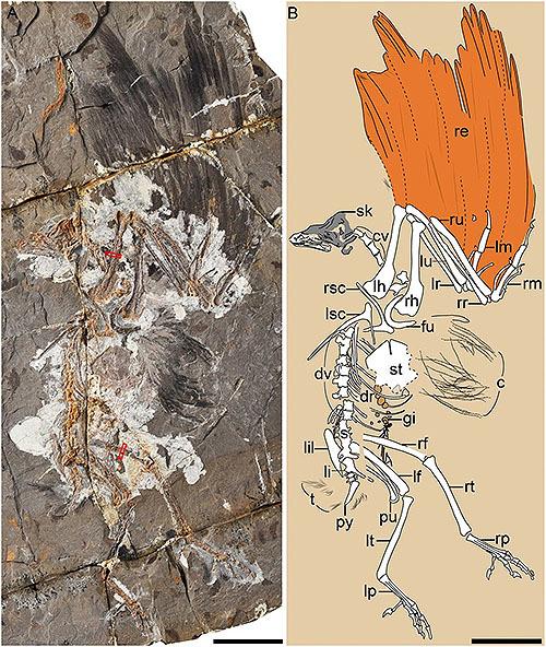 恐竜時代の奇妙な鳥の新種化石
