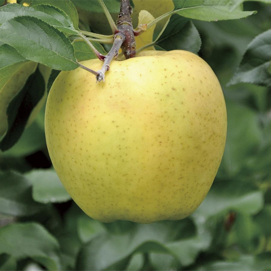 りんご 新品種 hff63 果皮