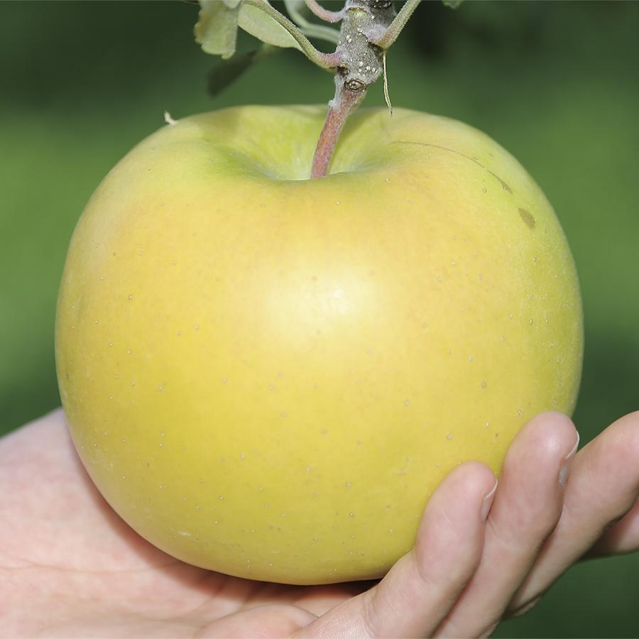 りんご 新品種 こうこう 果皮