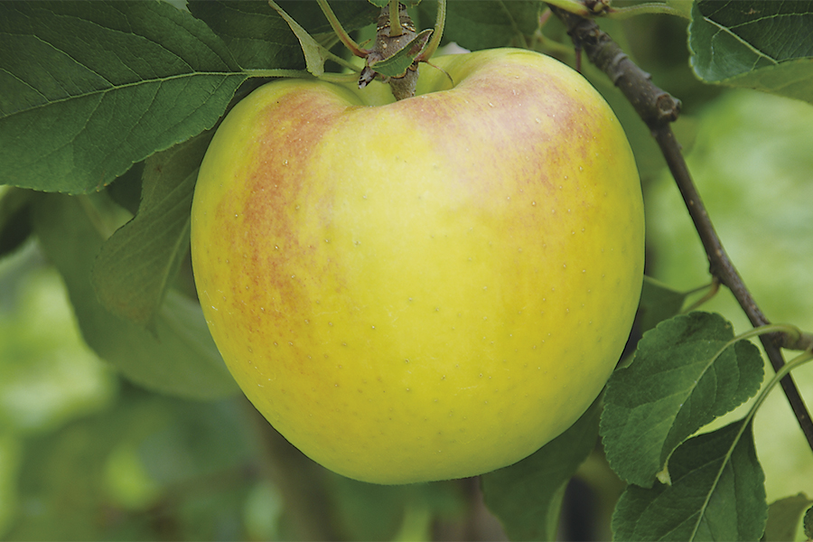 りんご 新品種 ぐんま名月 果皮