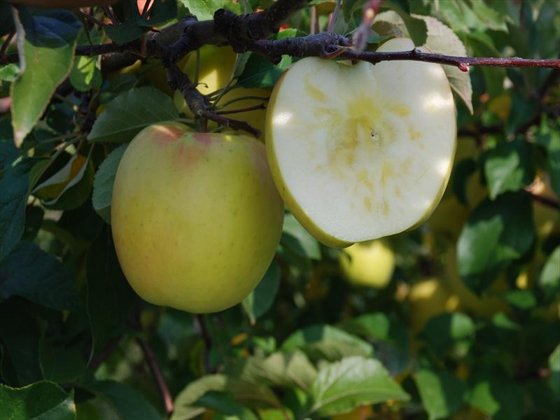 りんご 新品種 ぐんま名月 果肉