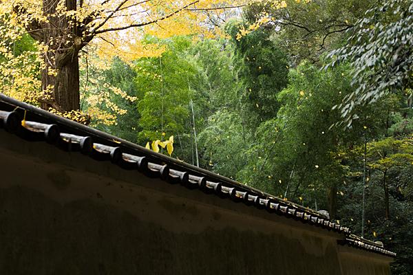石上神宮散るイチョウの葉