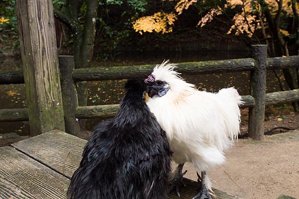 石上神宮神鶏