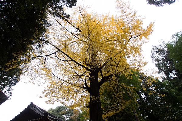 石上神宮黄葉の銀杏