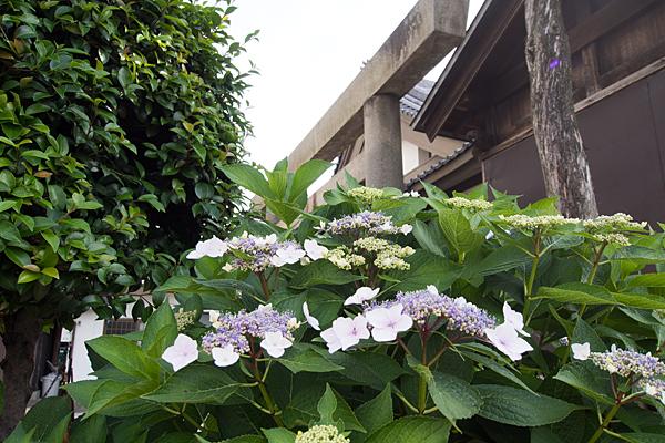 紫陽花と鳥居
