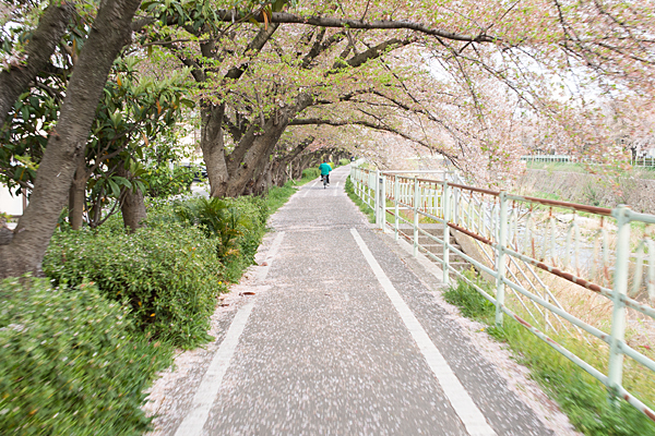 香流川緑道桜散る頃
