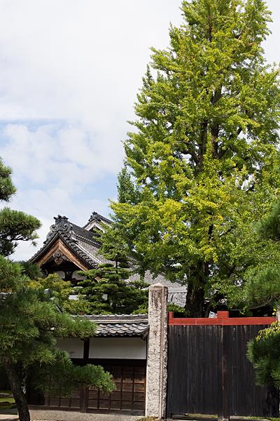 妙興寺塔頭とイチョウの木