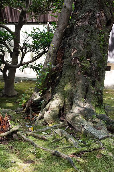 妙興寺木の幹