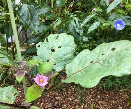 庄屋大長茄子の花