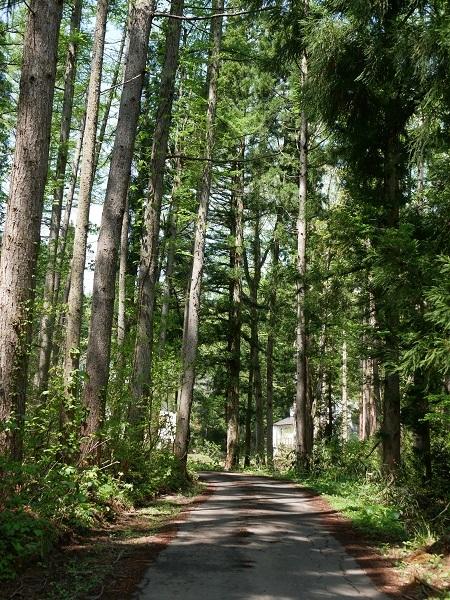 ②こんな針葉樹の森の中を歩きだした