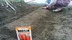 ニンジンの種蒔き