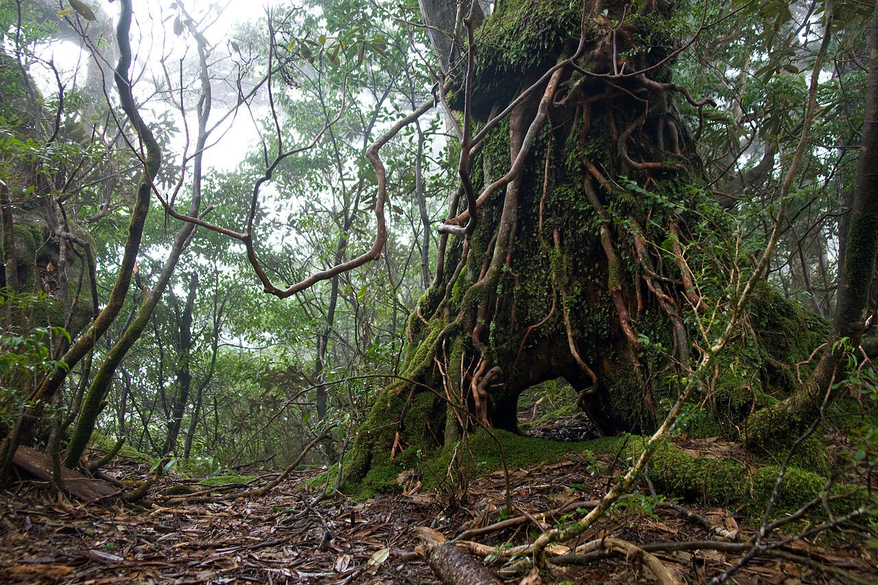 倒木更新後の樹木。礎となった倒木は朽ちて無くなり、空洞ができる(屋久島 黒味岳・2012年3月)