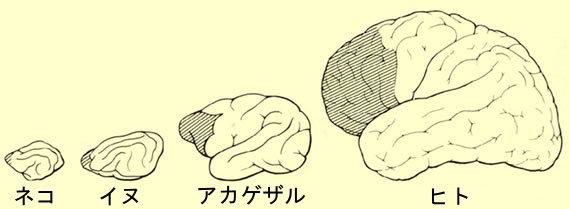 様々な動物の脳。網掛け部分が前頭前皮質。左からネコ、イヌ、アカゲザル、ヒト。徐々に前頭前皮質の占める面積が広くなっていく。