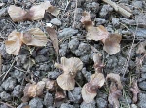 サワグルミ種2